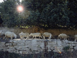 Sheep Graze on the Side of an Ancient Pathway Photographic Print