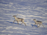 A Young Barren-Ground Caribou Follows its Mother Across the Tundra Photographic Print by Paul Nicklen