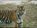 Tiger at the National Zoo Photographic Print by Vlad Kharitonov
