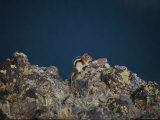 A Golden-Mantled Ground Squirrel Sits on a Rock Photographic Print