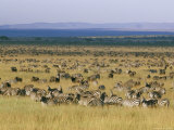 Hundreds of Plains Zebras and Wildebeests Graze on the Savanna Photographic Print by Skip Brown