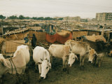 Cattle Share Living Space with People in Dacca Photographic Print by Dick Durrance