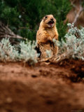 A Utah Prairie Dog Vocalizing in Bryce Canyon National Park, Utah Fotografisk tryk af Raymond Gehman