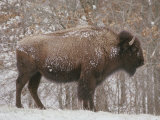 Buffalo in the Snow Photographie par Richard Nowitz
