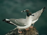 A Pair of Swallow-Tailed Gulls Perch on a Rock Fotografisk tryk af Paul Chesley
