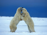 Young Male Polar Bears Spar with One Another Photographic Print by Norbert Rosing
