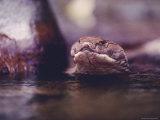 Close View of a King Cobra Photographic Print by Mattias Klum