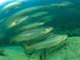 A Group of Atlantic Salmon Swim Close Together Fotografisk tryk af Bill Curtsinger