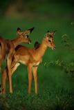 A Female Impala and Her Youngster with an Oxpecker Bird on its Back Photographic Print by Beverly Joubert
