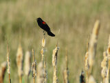 Red-Winged Blackbird Photographic Print by Phil Schermeister