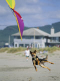 A German Shepherd Leaps for a Kite on the Beach at the Lincoln City Kite Festival Photographic Print by Phil Schermeister