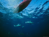 Sharks Swim under a Kayak Photographic Print by Nick Caloyianis