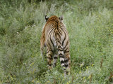 A Siberian Tiger Walks Away from the Camera Photographic Print