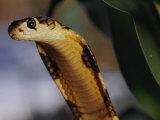 A King Cobra with its Head Raised Photographic Print by Mattias Klum