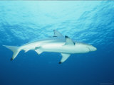 View of a Blue Shark Photographic Print by Nick Caloyianis