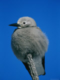 A Clarks Nutcracker Perches on a Branch Photographie