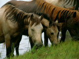 Wild Chincoteague Ponies Graze on the Shoreline Photographic Print by Medford Taylor