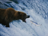 A Grizzly Bear Opens Wide for a Mouth Full of Salmon at the Brooks Falls Fishing Grounds Lámina fotográfica por Sartore, Joel