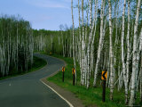 Signs Indicate Curves in the Road Running Through a Grove of Young Birch Trees Photographic Print by Medford Taylor