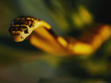 A Close View of the Head of a King Cobra Photographic Print by Mattias Klum