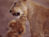 Asian Lion Mother and Cub at Play Photographic Print by Mattias Klum