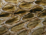 A Close View Detailing the Pattern of a King Cobras Scales Photographic Print by Mattias Klum