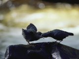 An American Dipper Feeds its Large Chick Photographic Print by Michael S. Quinton