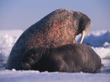 A Newborn Walrus Pup Rests with its Mother Photographic Print by Paul Nicklen