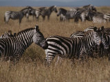 A Herd of Common Zebras on a Savanna Photographic Print by Jodi Cobb