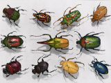 Various kinds of beetles, Giclee Print