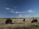 Bison Graze on a Field Set against a Blue Sky with Wispy Clouds Photographic Print by Raymond Gehman