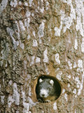 A Squirrel Peers out of a Hole in a Pine Tree Photographic Print by Norbert Rosing