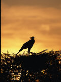 A Secretary Bird on Her Nest Photographic Print by Beverly Joubert