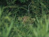 A Jaguar Peeks out from the Foliage Photographic Print by Steve Winter