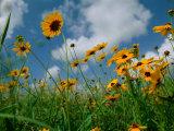 Wild Sunflowers in a Field Fotografisk tryk af Joel Sartore
