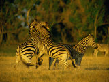 Male Zebras Spar with One Another Photographic Print by Beverly Joubert