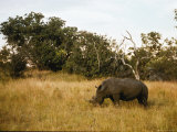 A Rhinoceros Feeds on Grass Photographic Print