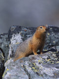 An Arctic Ground Squirrel Photographic Print