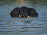 African Elephant Wading in the Water Photographic Print by Beverly Joubert