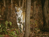A Majestic Tiger in the Woods Photographic Print