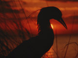 A Silhouette of a Heron Standing in Tall Grass at Sunset Photographic Print by Todd Gipstein