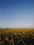 Long View Across a Field of Grain under a Clear Blue Sky Photographic Print by Mattias Klum