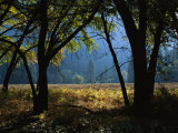 Black Oak Trees Near a Meadow in Yosemite National Park Photographic Print by Marc Moritsch