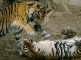 Two Tigers Play Together at the National Zoo Photographic Print by Vlad Kharitonov