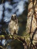A Juvenile Horned Owl Photographic Print by Mattias Klum