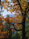 Marc Moritsch - A Black Oak Tree (Quercus Kelloggii) in Yosemite Valley Fotografická reprodukce