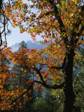 A Black Oak Tree (Quercus Kelloggii) in Yosemite Valley Photographic Print by Marc Moritsch