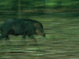 A Peccary Sprints Through the Forest Photographic Print by Steve Winter