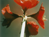 A Close-up of a Four Red Blossoms Photographic Print by Sisse Brimberg
