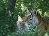Two Tigers at Rest Photographic Print
